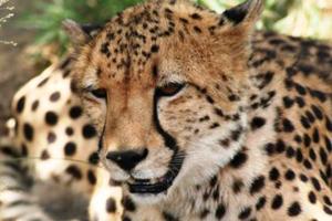 Plumbago Guesthouse cheetah