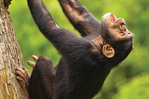 Plumbago Guesthouse chimp